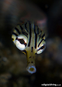 Portrait study of a Reef Top Pipefish. Taken with D200 an... by David Henshaw
