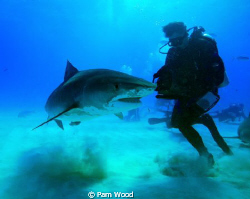 This Tiger Shark appears to be doing a dance with the pho... by Pam Wood
