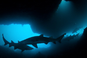 Sharks in the gloom.  Photo taken in the Cave at the West... by Mick Tait