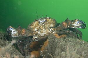 Velvet swimming crab. Menai straits. D3, 60mm. by Derek Haslam