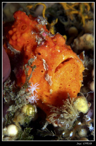Painted frogfish in Ducomi Pier, Dumaguete :-D by Daniel Strub