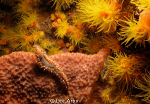 Fireworm amidst a blaze of feeding coral.  Night dive on ... by Lee Arbo