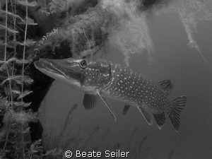 Northern Pike , taken with Canon S70 , no strobe by Beate Seiler