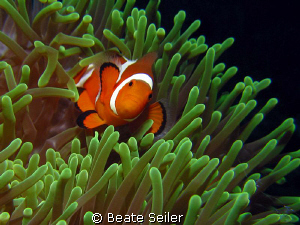 Clownfish , taken with Canon S70 and UCL165 by Beate Seiler