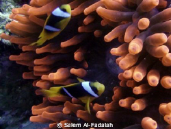 Lovely nemos by Salem Al-Fadalah