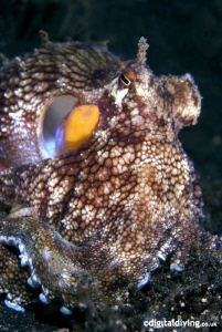 Octopus portrait taken with D200 and 60mm lens by David Henshaw
