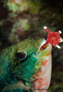 Parrotfish feeding on a Sea Star-Bonaire by Richard Goluch