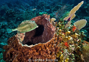 A honeycomb cowfish (Acanthostracion polygonia) taken at ... by Larissa Roorda