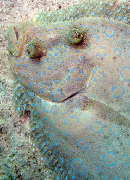 Flounder that  was looking at me in Bonaire! by Meredith Lynch