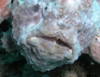 Purple frogfish in Bonaire by Meredith Lynch