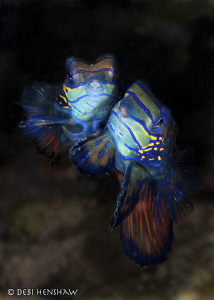 """Cuddles"" Mating Mandarinfish at Lembeh by Debi Henshaw"
