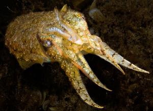 European Cuttlefish, Sepia officinalis, Corsica. by Jim Garland