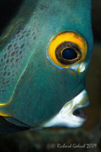 Portrait of French Angelfish-Canon 100 mm full frame-Bonaire by Richard Goluch