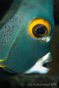 Portrait of French Angelfish-Canon 100 mm full frame-Bonaire by Richard Goluch