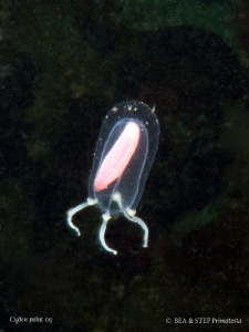 Tiny red sausage jelly, Euphysa sp, Canon G10. by Bea & Stef Primatesta