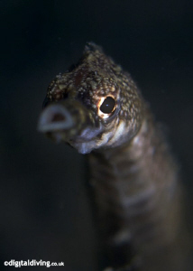 Portrait of Longsnout Stick Pipefish. Taken with D200 and... by David Henshaw