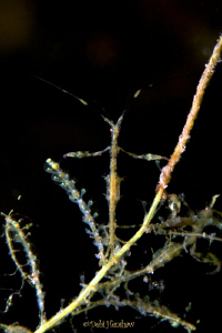 """Lets Pray"" Skeleton Shrimp - actually quite a few have g... by Debi Henshaw"