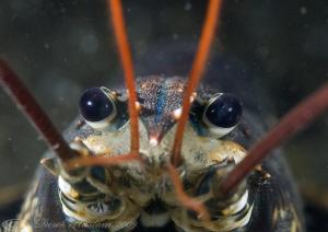 Common lobster. Menai straits. D3. 105mm. woody's. by Derek Haslam