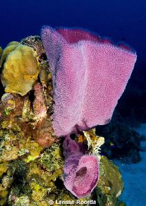 Vase sponge scene, Little Cayman.  Nikon D300, 12-24mm by Larissa Roorda