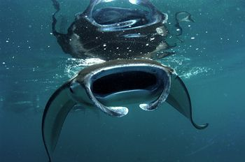 Manta Ray Feeding on the surface at Sangalaki , Indonesia... by Roger Munns