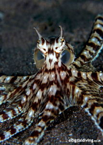 Mimic Octopus in Manado. Taken with D200 and 60mm lens by David Henshaw
