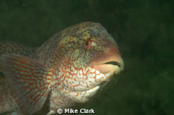 Ballan Wrasse, St. Abbs by Mike Clark