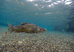Tiger? trout in shallows of Capernwray - winter 09.