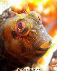 Seaweed Blenny, Kingstown, St. Vincent. by Kay Wilson