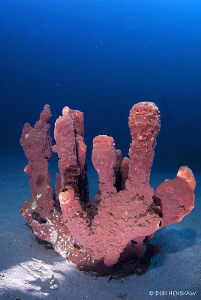 """Isolation"" a lonely sponge taken at Tasik Ria House Reef... by Debi Henshaw"