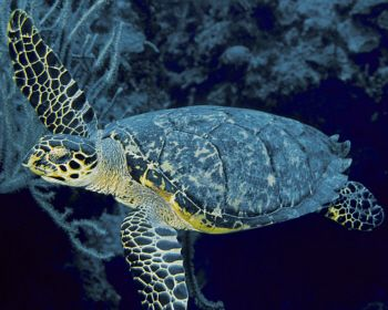 Hawksbill in Bloody Bay at Little Cayman by Eric Bancroft