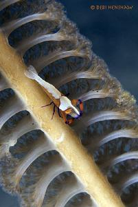 Emperor Shrimp on a Seapen. 60mm +2 diopter by Debi Henshaw