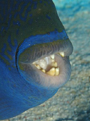 Blue Triggerfish who clearly takes care of his teeth. Can... by James Dawson