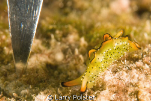 Ornate Elysia Sea Slug with dive knife for reference scal... by Larry Polster