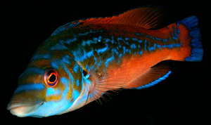 Cuckoo Wrasse, Labrus mixtus, Plymouth, UK. by Jim Garland