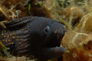 Young morayeel near Telascica by Andy Kutsch