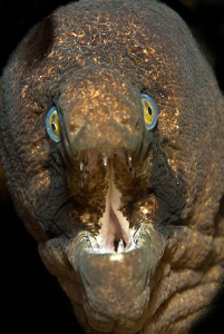 Black cheeked moray looking for lunch by Charles Wright
