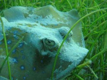 Blue spotted stingray, taken when free diving at Bamburi ... by Oskar Henriksson