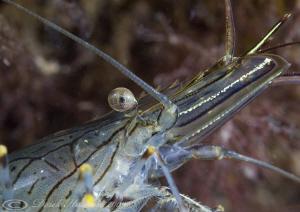 Common prawn. Trefor pier. D3, 2XTC, 60mm. by Derek Haslam