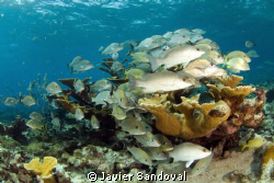 Grunts and snappers in elkhorn coral, Cancun Mexico by Javier Sandoval