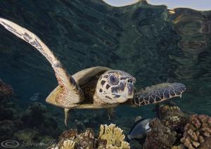 Hawksbill turtle just after sunrise. D3, 20mm. by Derek Haslam