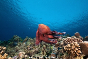 reef octopus cauth on the run! by Stephan Kerkhofs