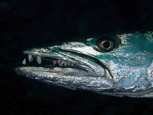 Great Barracuda, Tulamben by Doug Anderson