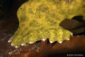 """BIG FOOT"" Close up of a Giant Frogfish foot - in need of... by Debi Henshaw"