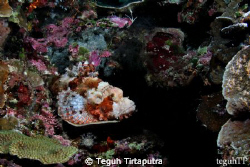 Find me...  A perfect camouflaged for a scorpionfish ag... by Teguh Tirtaputra