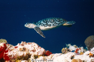 """""""On a Mission"""".Done in cozumel on a """"tortuga"""" dive across... by David Cohn"""