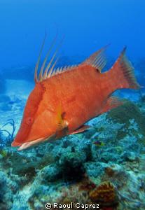 Nice Hog fish. by Raoul Caprez