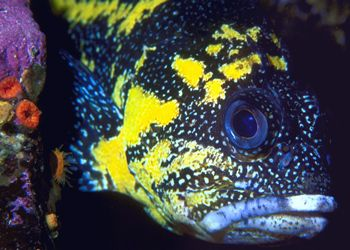 China Rockfish--British Columbia (Nikon F4, 105mmMacro, A... by Andrew Dawson