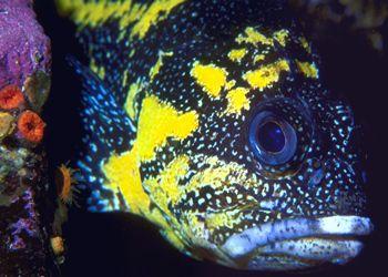 China Rockfish--British Columbia (Nikon F4, 105mmMacro, A... by Andrew Dawson