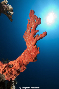 coral aiming for the sun! by Stephan Kerkhofs