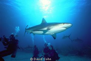 """""""shark dive"""" bahamas, no cages and no touching.-carribean... by David Cohn"""
